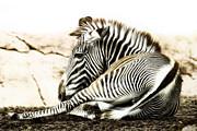 Grevy's Zebra Print by Bill Tiepelman