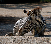African Saint Prints - Grevys Zebra Print by Chris  Brewington Photography LLC