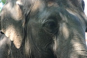 Zoo Pyrography Prints - Grey 2 Print by Stephanie Hopkins