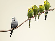 Standing Out From The Crowd Framed Prints - Grey Budgie Standing Apart From Green Budgies Framed Print by Michael Blann