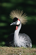 Crowned Head Posters - Grey Crowned Crane Balearica Regulorum Poster by Konrad Wothe