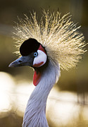 Crowned Head Posters - Grey Crowned Crane Poster by Denise Swanson