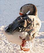 Goose Art - Grey Goose Grooming by Laurie With