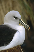Diego Ramirez Island Posters - Grey-headed Albatross Thalassarche Poster by Tui De Roy