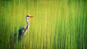 Tall Grass Framed Prints - Grey Heron Framed Print by Angela Doelling AD DESIGN Photo and PhotoArt