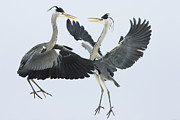Gray Heron Posters - Grey Heron Ardea Cinerea Pair Fighting Poster by Konrad Wothe