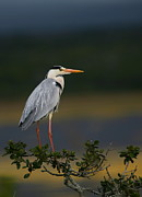 South Africa Prints - Grey Heron Print by Bruce J Robinson