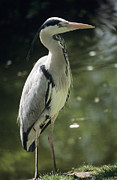 Grey Heron Framed Prints - Grey Heron Framed Print by David Aubrey