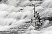 Grey Photo Framed Prints - Grey Heron fishing in Annacotty waterfall Ireland  Framed Print by Pierre Leclerc