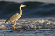 Gray Heron Prints - Grey Heron In Surf Zone Hawf Protected Print by Sebastian Kennerknecht