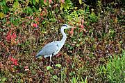 Grey Heron Framed Prints - Grey heron in the colorful autumn leaves Framed Print by Pierre Leclerc