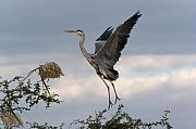 Grey Photo Framed Prints - Grey Heron Framed Print by Johan Elzenga