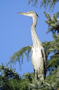 Ardea Posters - Grey Heron Perched In A Tree Poster by Duncan Shaw