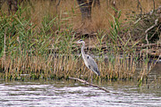 Bulgaria Posters - Grey Heron Poster by Tony Murtagh