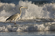 Gray Heron Prints - Grey Heron Wading In Surf Zone Hawf Print by Sebastian Kennerknecht