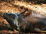 Iguana Metal Prints - Grey Iguana Metal Print by Vijay Sharon Govender