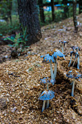 Blue Mushrooms Photo Posters - Grey Mushrooms growing in the woods Poster by Robin Lewis