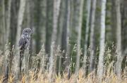 Singles Prints - Grey Owl Print by Darwin Wiggett