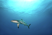 Shark Posters - Grey Reef Shark Poster by James R.D. Scott