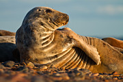 Gabor Pozsgai Metal Prints - Grey seal Halichoerus grypus watching Metal Print by Gabor Pozsgai