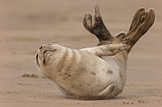 Andy Astbury Framed Prints - Grey Seal Pup Framed Print by Andy Astbury