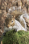 Bushy Tail Photos - Grey Squirrel by David Aubrey