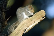 Sciurus Carolinensis Prints - Grey Squirrel Feeding Print by Duncan Shaw