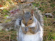 Pamela Turner Prints - Grey Squirrel Print by Pamela Turner