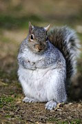 Sciurus Carolinensis Prints - Grey Squirrel Sitting On The Ground Print by Colin Varndell