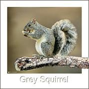 Grey Squirrel Print by Tom Schmidt