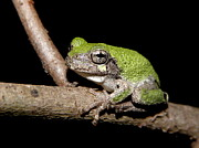 Black Background Art - Grey Tree Frog by Griffin Harris