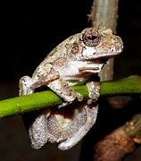 Snake In Tree Posters - Grey Tree Frog II Poster by Griffin Harris