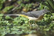 March Photos - Grey Wagtail In Stream by Colin Varndell