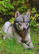 Wolf Creek Originals - Grey Wolf.... by Adrienne Smith