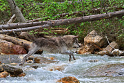 Wolf Creek Framed Prints - Grey wolf crossing a mountain stream Framed Print by Louise Heusinkveld