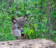 Hiding Art - Grey wolf hiding behind leaves by Louise Heusinkveld