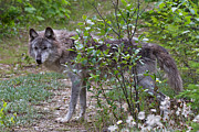 Wolf Photograph Prints - Grey wolf Print by Louise Heusinkveld