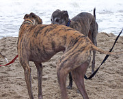 Greyhound Photos - Greyhound Buddies by Jim Vansant