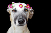 Greyhound Photos - Greyhound by Elke Vogelsang