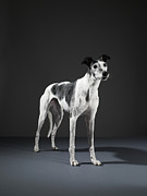 Greyhound Framed Prints - Greyhound Framed Print by Michael Blann