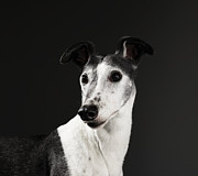 Greyhound Framed Prints - Greyhound, Portrait Framed Print by Michael Blann