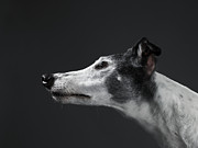 Greyhound Framed Prints - Greyhound, Profile Framed Print by Michael Blann