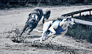Greyhound Photos - Greyhound Race by Klaus Vedfelt