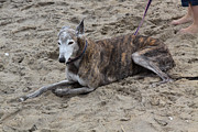 Greyhound Photos - Greyhound Resting on the Beach by Jim Vansant