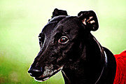 Greyhound Print by The DigArtisT