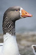 Greylag Prints - Greylag Goose Head Print by David Aubrey