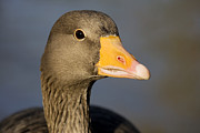 Greylag Prints - Greylag Goose Print by Power And Syred