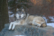 Wolves Photos - Grizzer Intelligence Personified by Gerry Sibell