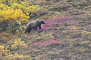Alaska Wildlife Photos - Grizzly at Sable Pass by Alan Lenk