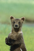 Katmai National Park Prints - Grizzly Bear Cub Katmai National Park Print by Suzi Eszterhas